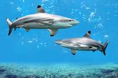 Blacktip zátony cápák úszás trópusi vizekben