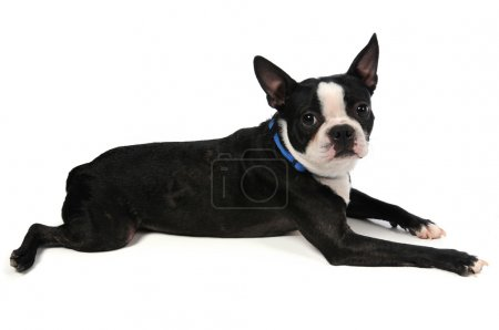 Boston Terrier Laying Down