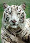 White Benagal Tiger