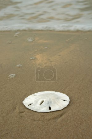 Sand dollar on a sandy beach with waves breaking i...