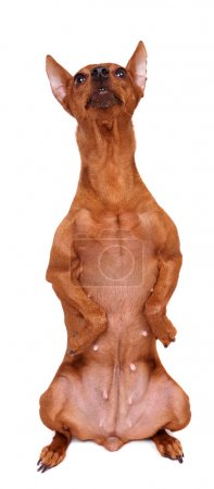 Red miniature pinscher sitting vertically with for...