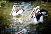 Volavka ptáci plavání ve vodě