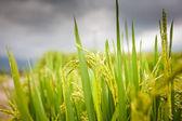 Rýžových polí, bali, Indonésie