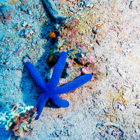 Blue Starfish on Sandy Bottom of Reef