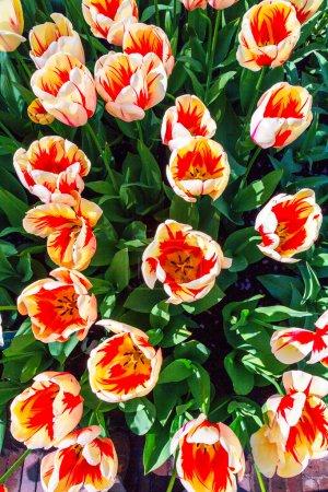 Photo pour Tulipes dans le jardin de fleurs Keukenhof à Lisse, Pays-Bas - image libre de droit