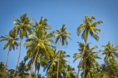 Photo pour Beaux palmiers contre ciel bleu ensoleillé - image libre de droit