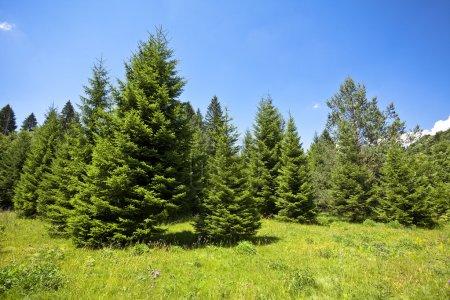 Photo pour Paysage avec des forêts de pins dans la montagne en été - image libre de droit