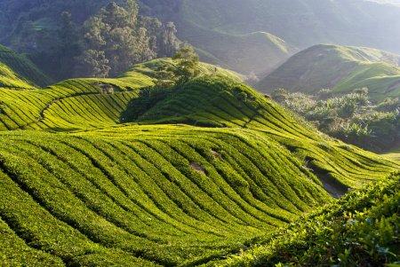 Tea Plantation, Cameron Highland Malaysia