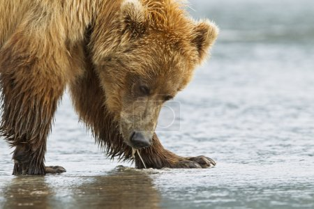 A close up of a drooling bear while clamming....