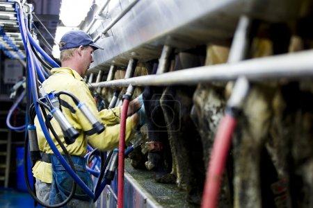 a farmer milking the cow