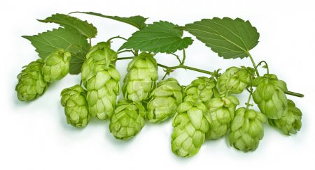 Blossoming hop with leaves