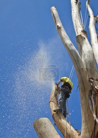 Photo pour Élagage à l'aide de la scie à chaîne de tailler un grand arbre - image libre de droit