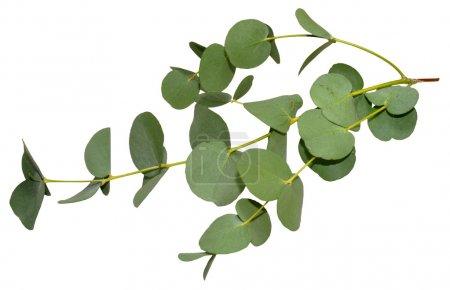 Photo pour Branche de feuilles d'eucalyptus aromatiques, isolées sur fond blanc . - image libre de droit