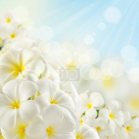 Photo pour Bouquet de fleurs plumeria et de lumière du soleil - image libre de droit