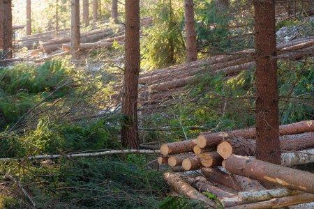 Photo pour Piles dans une pinède - deforestaion durable à petite échelle de bois - image libre de droit
