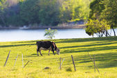 Cow grazing near water