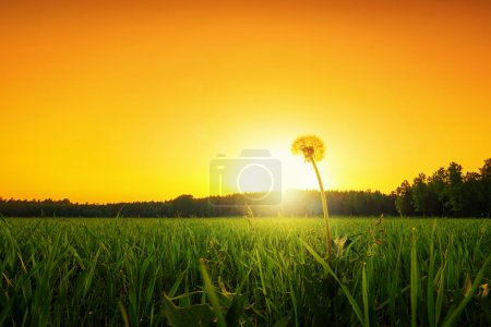 Photo for Lonely dandelion on a grass field at sunset, low angle - Royalty Free Image