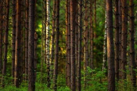 Photo pour Coucher de soleil dans les bois avec jeunes arbres de pin et le bouleau - image libre de droit