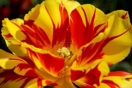Brightly coloured Monsella tulip