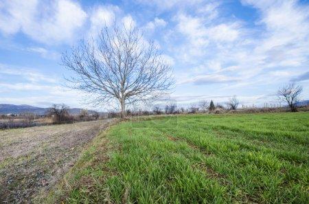 Foto de Árbol único sin hojas sobre hierba verde contra cielo azul con horizonte de nubes - Imagen libre de derechos