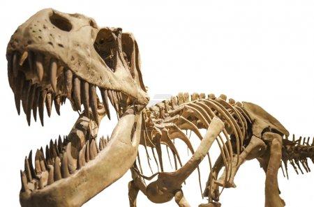 Tyrannosaurus skeleton over white isolated background