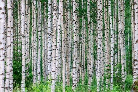 Photo pour Arbres dans le birchwood d'affilée en été - image libre de droit
