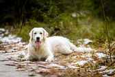 Lying Golden Retriever in the Forest