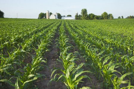 Photo pour Un champ vert de jeunes plants de maïs avec une ferme en arrière-plan - image libre de droit