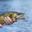 A close up shot of a walleye being held by a fishe...