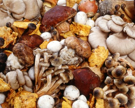 Photo for Assorted collection of fresh edible wild mushrooms harvested in autumn for use as ingredients in cooking - Royalty Free Image