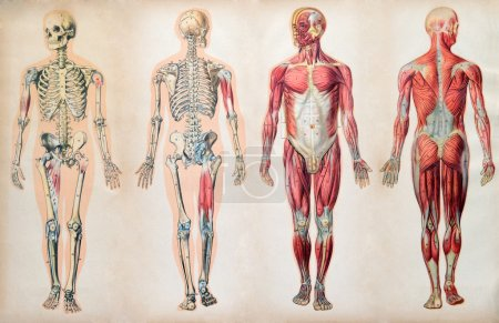Old vintage anatomy charts of the human body