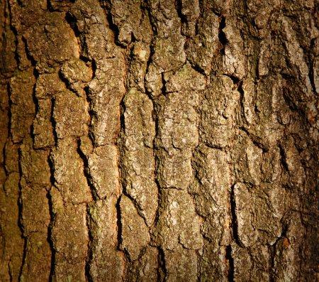 Photo pour Texture du tronc d'arbre - image libre de droit
