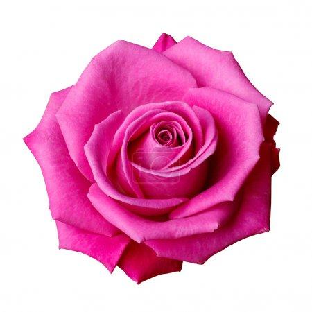 Photo pour Rose rose isolée - image libre de droit