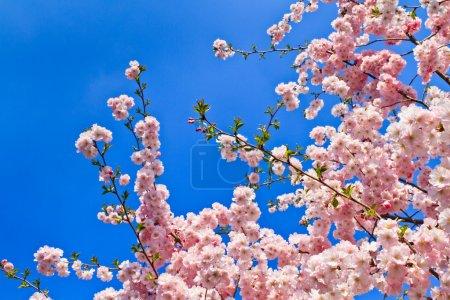 Photo pour Printemps des cerisiers en fleurs (rose) et fond bleu - image libre de droit