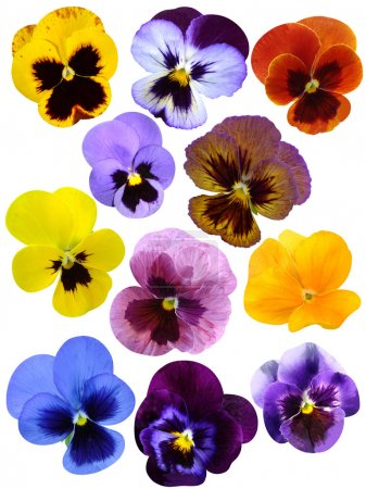 Set of pansies Violets flowers