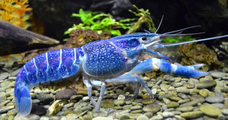 Aquarium blue cancer crab