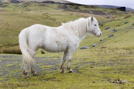 Photo pour Pony gallois, Montagnes noires, Pays de Galles. La terre où les chevaux courent librement . - image libre de droit