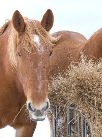 caballo comiendo heno