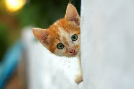 Curious small red kitten peeking out from white wall. outdoors
