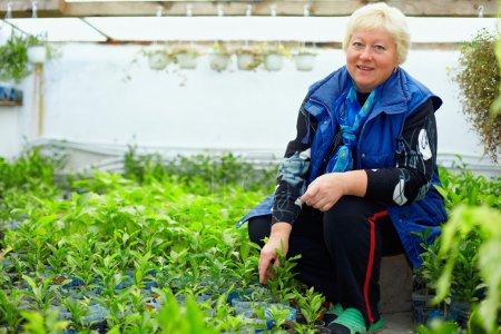Photo pour Mature femme souriante travaillant en serre avec les agrumes - image libre de droit