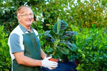 Photo pour Jardinier senior souriant, tenant des bananiers en serre - image libre de droit