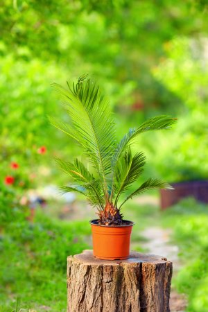 Photo for Potted cycas palm plant on colorful garden background - Royalty Free Image