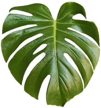 Photo for Monstera leaf on a white background - Royalty Free Image