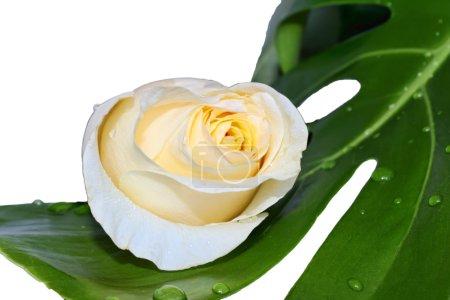 Rose on a leaf of monstera