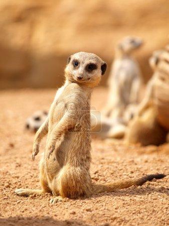 Suricata - Meerkat