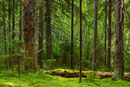 Photo for The depths of a pine forest - Royalty Free Image