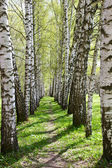 Birch-tree alley