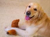 Pes, zlatý retrívr
