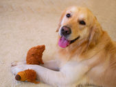 Kutya, golden retriever