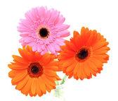 Gerbera květina izolovaných na bílém pozadí